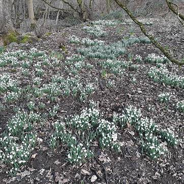 Come when the snowdrops are out