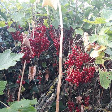 Redcurrants in the hedge